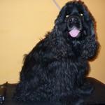Rocco nyírás/trimmelés előtt
